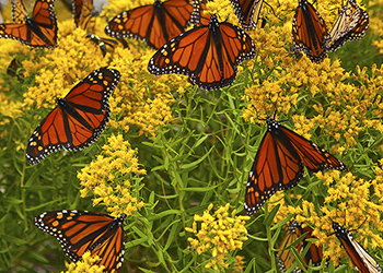 monarch butterflies 350
