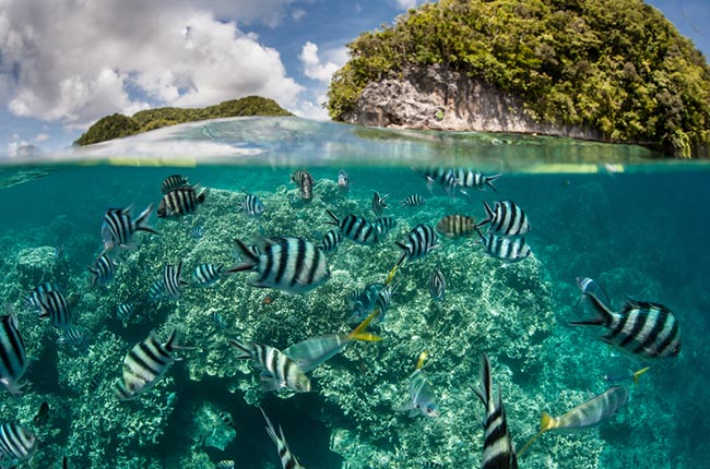 Damselfish swim in shallow water in Palau, where Texas A&M researchers study ocean acidification.