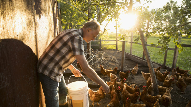 Male farmer feeding chickens in chicken coop