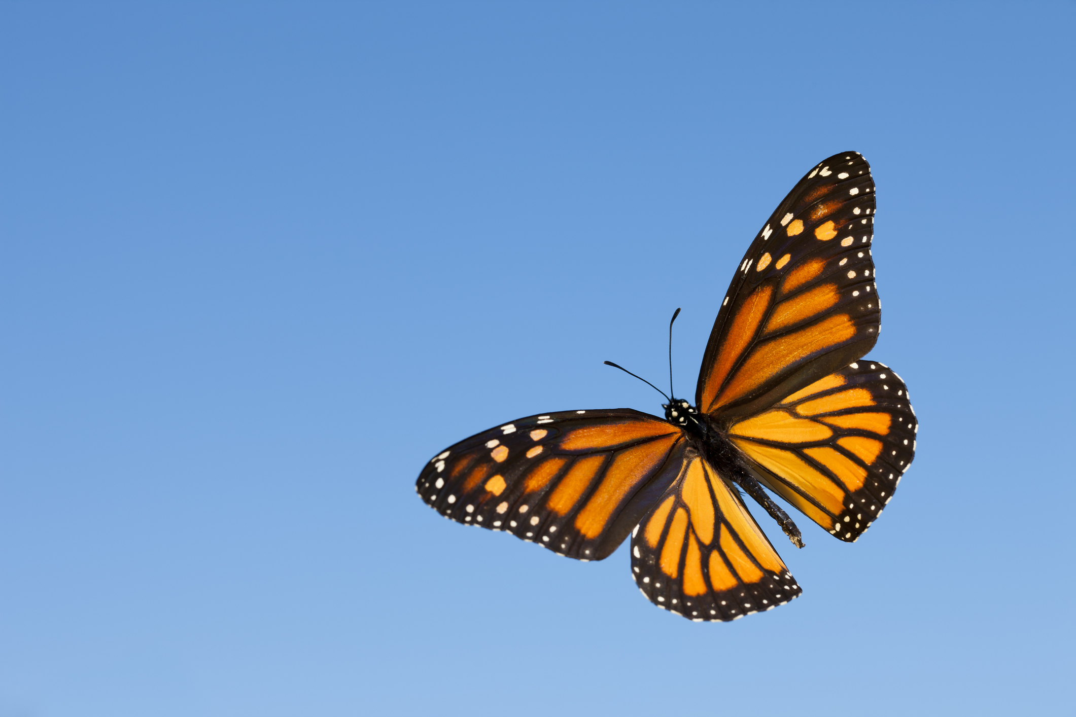 Monarch Butterfly Numbers Rise Dramatically - Texas A&M Today