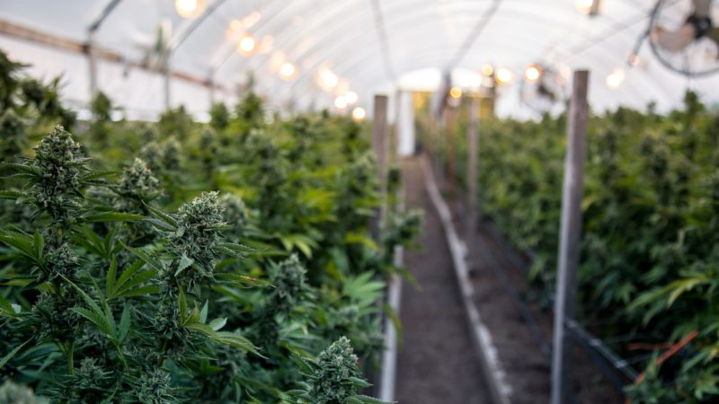 Cannabis Plants Growing In Greenhouse