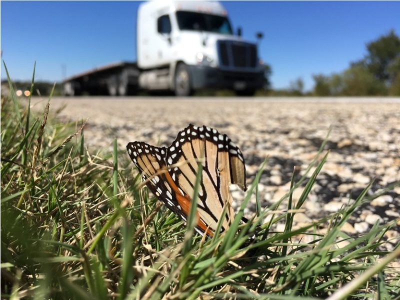 A monarch butterfly was killed on U.S. Highway 190
