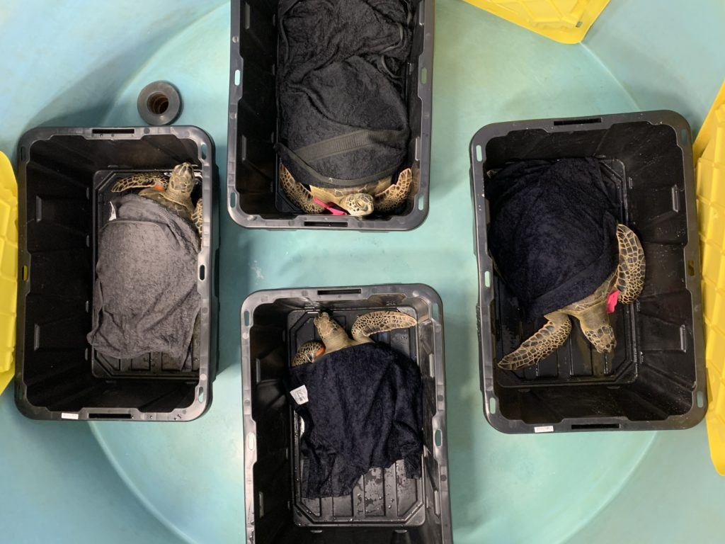 overhead view of four turtles in plastic containers