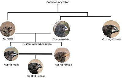 A schematic illustration of the evolution of the Big Bird lineage on the Daphne Major island in the Galápagos archipelago. Initially an immigrant large cactus finch male (Geospiza conirostris) bred with a medium ground finch female (Geospiza fortis). Their offspring bred with each other and established the Big Bird lineage.