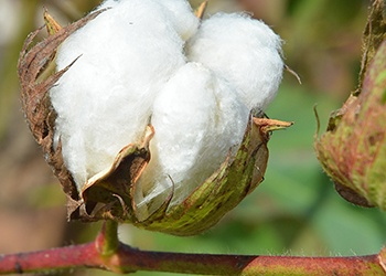 Economist: China Commodities Tariffs Would Hit Texas Cotton, Sorghum Hardest