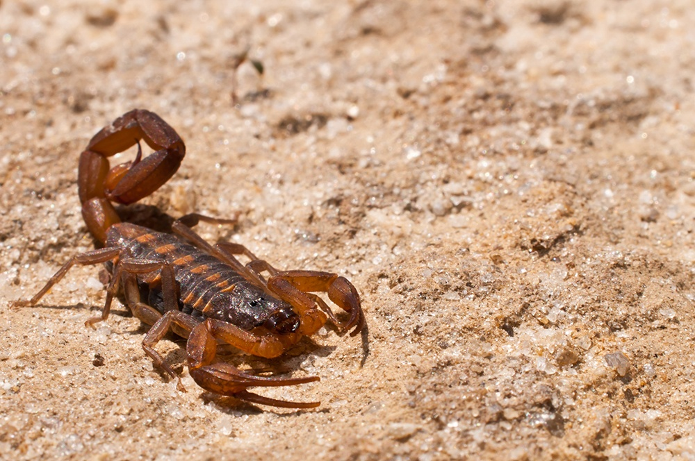 A close up of a Striped Bark Scorpion. (Getty Images)