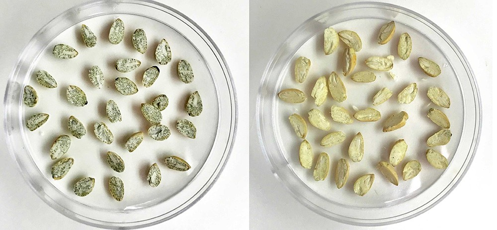 Seeds containing gossypol (left) have glands showing up as black specs. The specs in the Ultra-Low Gossypol Cottonseeds (right) are still there, but are much lighter, reflecting the very low levels of gossypol
