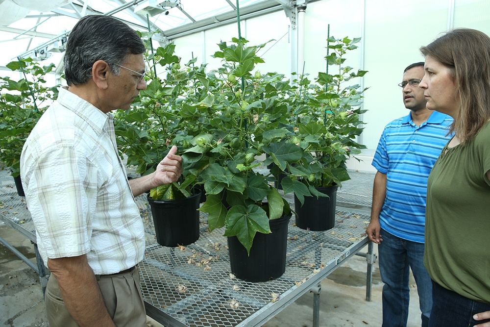 Dr. Keerti Rathore discusses the ultra low gossypol cotton with his team, Dr. Devendra Pandeya and LeAnne Campbell. (Beth Luedeker/Texas A&M AgriLife)